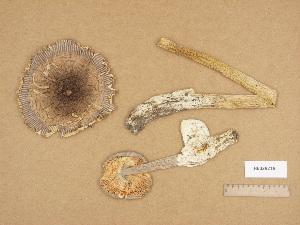 (Amanita sp. PH001 - H6029219)  @11 [ ] Copyright (2012) Diana Weckman Botanical Museum, Finnish Museum of Natural History, University of Helsinki