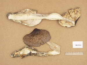 (Amanita magnivolvata - H6029220)  @11 [ ] Copyright (2012) Diana Weckman Botanical Museum, Finnish Museum of Natural History, University of Helsinki