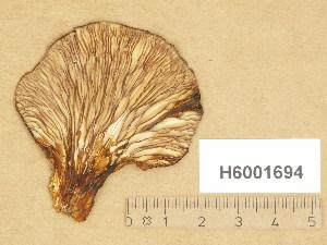 (Panus - H6001694)  @11 [ ] Copyright (2014) Diana Weckman Botanical Museum, Finnish Museum of Natural History, University of Helsinki