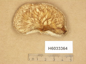 (Pleurotus calyptratus - H6033364)  @11 [ ] Copyright (2014) Diana Weckman Botanical Museum, Finnish Museum of Natural History, University of Helsinki