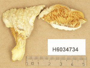 (Pleurotus dryinus - H6034734)  @11 [ ] Copyright (2014) Diana Weckman Botanical Museum, Finnish Museum of Natural History, University of Helsinki