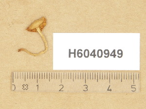 (Galerina similis - H6040949)  @11 [ ] Copyright (2014) Diana Weckman Botanical Museum, Finnish Museum of Natural History, University of Helsinki