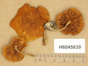 (Gymnopilus penetrans - H6045639)  @11 [ ] Copyright (2014) Diana Weckman Botanical Museum, Finnish Museum of Natural History, University of Helsinki