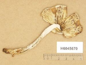 (Amanita islandica - H6045670)  @11 [ ] Copyright (2014) Diana Weckman Botanical Museum, Finnish Museum of Natural History, University of Helsinki