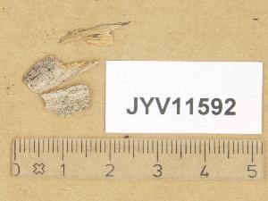 (Strossmayeria - JYV11592)  @11 [ ] Copyright (2014) Diana Weckman Botanical Museum, Finnish Museum of Natural History, University of Helsinki