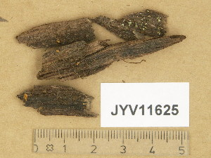 (Hymenoscyphus - JYV11625)  @11 [ ] Copyright (2014) Diana Weckman Botanical Museum, Finnish Museum of Natural History, University of Helsinki