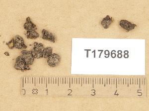 (Pezizomycetes - T179688)  @11 [ ] Copyright (2012) Diana Weckman Botanical Museum, Finnish Museum of Natural History, University of Helsinki
