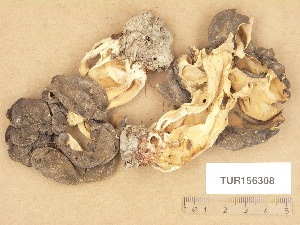 (Gyromitra sphaerospora - TUR156308)  @11 [ ] Copyright (2013) Diana Weckman Botanical Museum, Finnish Museum of Natural History, University of Helsinki