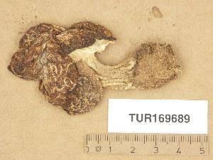 (Gyromitra esculenta - TUR169689)  @11 [ ] Copyright (2013) Diana Weckman Botanical Museum, Finnish Museum of Natural History, University of Helsinki