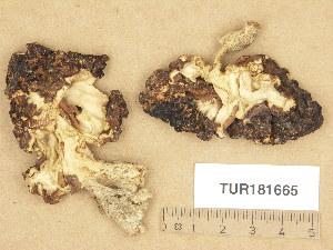 (Gyromitra esculenta - TUR181665)  @11 [ ] Copyright (2013) Diana Weckman Botanical Museum, Finnish Museum of Natural History, University of Helsinki