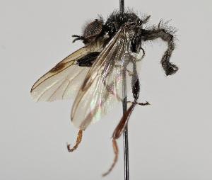 (Bibionidae - MZH_HP.2227)  @14 [ ] CreativeCommons - Attribution Non-Commercial No Derivatives (2014) Hanna Koivula Finnish Museum of Natural History
