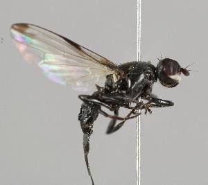 (Ulidiidae - MZH_HP.2250)  @14 [ ] CreativeCommons - Attribution Non-Commercial No Derivatives (2014) Hanna Koivula Finnish Museum of Natural History