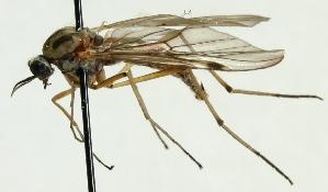 (Anisopodidae - MZH_HP.622)  @14 [ ] CreativeCommons - Attribution Non-Commercial (2012) Marko Mutanen University of Oulu
