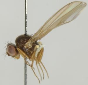 (Drosophila testacea - jka08-00248)  @12 [ ] CreativeCommons - Attribution Non-Commercial (2012) Marko Mutanen University of Oulu