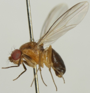 (Chymomyza fuscimana - jka09-05047)  @13 [ ] CreativeCommons - Attribution Non-Commercial (2012) Marko Mutanen University of Oulu