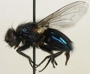 (Chrysomyinae - jka09-06028)  @14 [ ] CreativeCommons - Attribution Non-Commercial (2012) Marko Mutanen University of Oulu