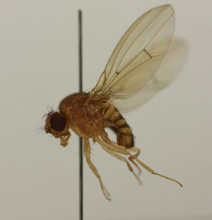 (Drosophila histrio - MZH_HP.1092)  @13 [ ] CreativeCommons - Attribution Non-Commercial No Derivatives (2013) Hanna Koivula Finnish Museum of Natural History