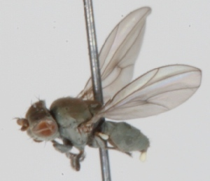 (Hydrelliinae - KWi-347)  @12 [ ] CreativeCommons - Attribution Non-Commercial (2012) Marko Mutanen University of Oulu