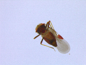 (Microphysidae - HetNor4)  @12 [ ] copyright (2014) Bergen Museum Bergen Museum