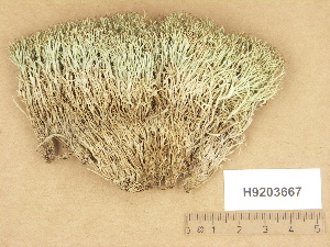 (Cladonia uncialis subsp Biuncialis - H9203667)  @11 [ ] Copyright (2012) Diana Weckman Botanical Museum, Finnish Museum of Natural History, University of Helsinki