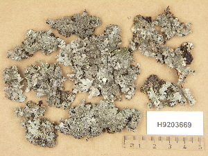 (Parmelia saxatilis - H9203669)  @11 [ ] Copyright (2012) Diana Weckman Botanical Museum, Finnish Museum of Natural History, University of Helsinki