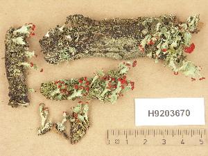 (Cladonia pleurota - H9203670)  @11 [ ] Copyright (2012) Diana Weckman Botanical Museum, Finnish Museum of Natural History, University of Helsinki