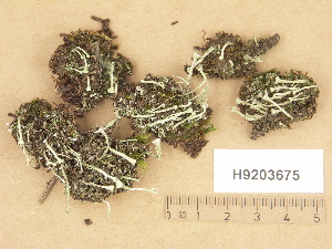 (Cladonia fimbriata - H9203675)  @11 [ ] Copyright (2012) Diana Weckman Botanical Museum, Finnish Museum of Natural History, University of Helsinki