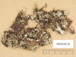 (Peltigera leucophlebia - H9203678)  @11 [ ] Copyright (2012) Diana Weckman Botanical Museum, Finnish Museum of Natural History, University of Helsinki
