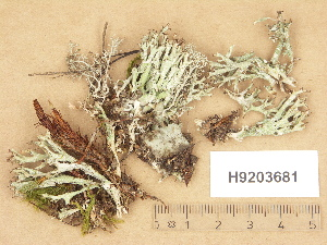 (Cladonia turgida - H9203681)  @11 [ ] Copyright (2012) Diana Weckman Botanical Museum, Finnish Museum of Natural History, University of Helsinki