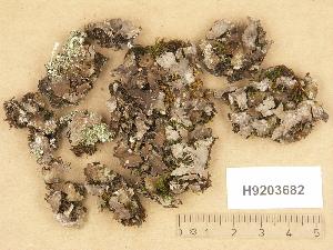(Peltigera rufescens - H9203682)  @11 [ ] Copyright (2012) Diana Weckman Botanical Museum, Finnish Museum of Natural History, University of Helsinki