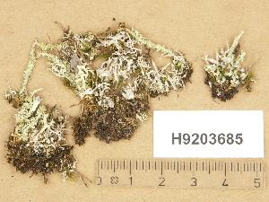 (Cladonia bellidiflora - H9203685)  @11 [ ] Copyright (2012) Diana Weckman Botanical Museum, Finnish Museum of Natural History, University of Helsinki