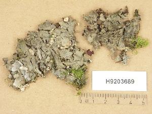 (Peltigera praetextata - H9203689)  @11 [ ] Copyright (2012) Diana Weckman Botanical Museum, Finnish Museum of Natural History, University of Helsinki