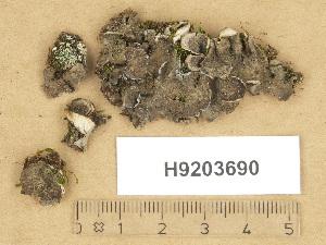 (Peltigera lepidophora - H9203690)  @11 [ ] Copyright (2012) Diana Weckman Botanical Museum, Finnish Museum of Natural History, University of Helsinki