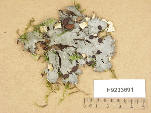 (Peltigera horizontalis - H9203691)  @11 [ ] Copyright (2012) Diana Weckman Botanical Museum, Finnish Museum of Natural History, University of Helsinki
