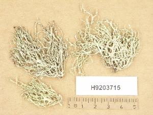 (Ramalina farinacea - H9203715)  @11 [ ] Copyright (2012) Diana Weckman Botanical Museum, Finnish Museum of Natural History, University of Helsinki
