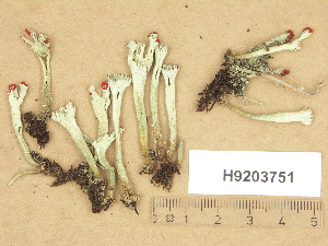 (Cladonia sulphurina - H9203751)  @11 [ ] Copyright (2012) Diana Weckman Botanical Museum, Finnish Museum of Natural History, University of Helsinki