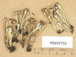 (Cladonia gracilis subsp. turbinata - H9203752)  @11 [ ] Copyright (2012) Diana Weckman Botanical Museum, Finnish Museum of Natural History, University of Helsinki