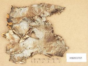 (Peltigera neopolydactyla - H9203761)  @11 [ ] Copyright (2012) Diana Weckman Botanical Museum, Finnish Museum of Natural History, University of Helsinki