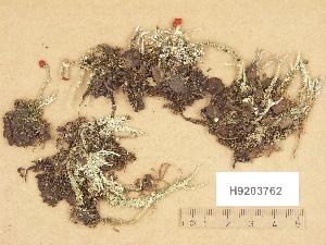 (Cladonia bellidiflora - H9203762)  @11 [ ] Copyright (2012) Diana Weckman Botanical Museum, Finnish Museum of Natural History, University of Helsinki
