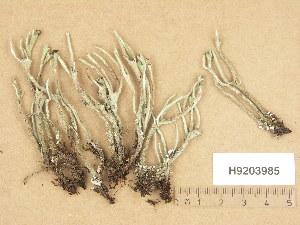 (Cladonia subulata - H9203985)  @11 [ ] Copyright (2013) Diana Weckman Botanical Museum, Finnish Museum of Natural History, University of Helsinki