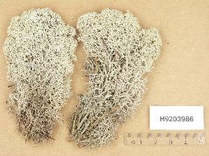 (Cladonia stellaris - H9203986)  @11 [ ] Copyright (2013) Diana Weckman Botanical Museum, Finnish Museum of Natural History, University of Helsinki