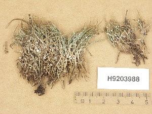 (Cladonia gracilis subsp gracilis - H9203988)  @11 [ ] Copyright (2013) Diana Weckman Botanical Museum, Finnish Museum of Natural History, University of Helsinki
