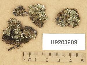 (Cladonia pocillum - H9203989)  @11 [ ] Copyright (2013) Diana Weckman Botanical Museum, Finnish Museum of Natural History, University of Helsinki