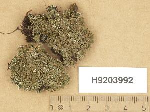 (Cladonia strepsilis - H9203992)  @11 [ ] Copyright (2013) Diana Weckman Botanical Museum, Finnish Museum of Natural History, University of Helsinki