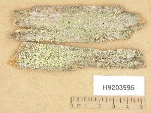 (Cladonia coniocraea - H9203995)  @11 [ ] Copyright (2013) Diana Weckman Botanical Museum, Finnish Museum of Natural History, University of Helsinki