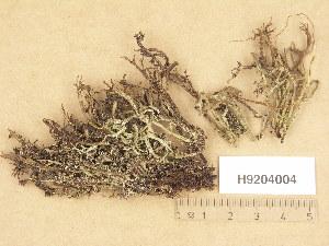 (Cladonia squamosa - H9204004)  @11 [ ] Copyright (2013) Diana Weckman Botanical Museum, Finnish Museum of Natural History, University of Helsinki