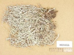(Cladonia rangiferina - H9204005)  @11 [ ] Copyright (2013) Diana Weckman Botanical Museum, Finnish Museum of Natural History, University of Helsinki