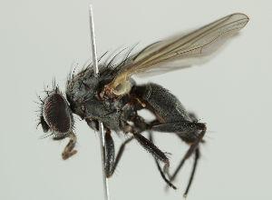 (Fanniidae - MZH_HP.2335)  @15 [ ] by_nc_nd (2014) Hanna Koivula Finnish Museum of Natural History