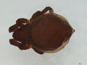 (Neoliodidae - FINOR-20120478)  @14 [ ] Copyright (2012) R. Penttinen 2012
