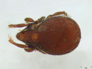 (Scutoverticidae - FINOR-20120626)  @13 [ ] Copyright (2012) R. Penttinen 2012